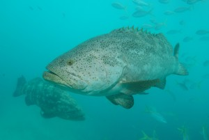 Goliath grouper fish