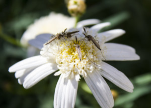 Three mosquitoes pollinating flower