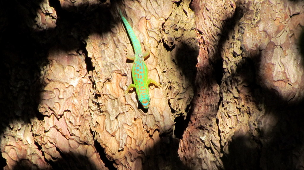 Blue tailed day gecko on rock wall