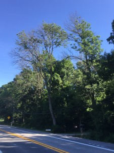Green ash trees (Fraxinus pennsylvanica) infested by Emerald ash borer