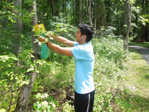 SERC intern Cole Caceres collects Japanese invasive beetles from hormone trap for his experiment