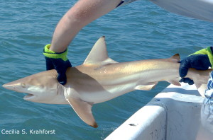 Tagged shark being returned to the water