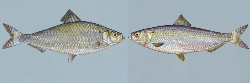 Alewife and blueback herring