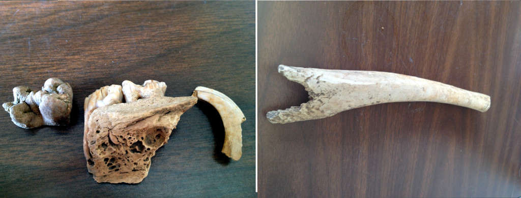 Pig teeth and deer bone