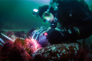 Diver with red sea urchins