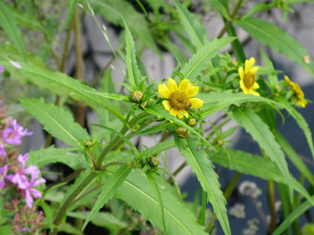 Burr marigold flowers