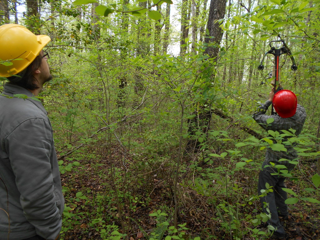 Intern Alex Koure (left) and postdoctoral researcher Uzay Sezen (right) are using a crossbow to get leaf samples from hard-to-reach branches. A fishing line attached to the arrows helps them shake down leaves from the canopy. Credit: Ryan Greene/SERC