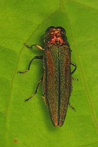 Emerald_Ash_Borer_-_Agrilus_planipennis,_Occoquan_Regional_Park,_Lorton,_Virginia