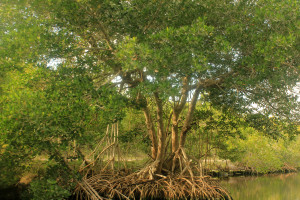 Gfp-mangrove-tree
