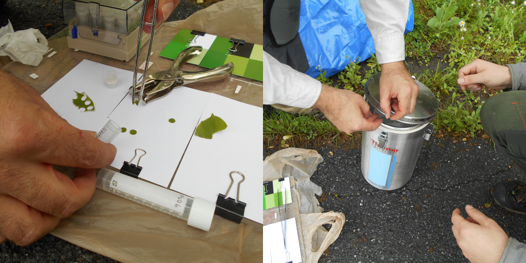 A split image. On the left, a scientist uses forceps to put hole-punched leaf samples into a plastic tube. On the right, the scientist places this plastic tube in a metal container of liquid nitrogen.