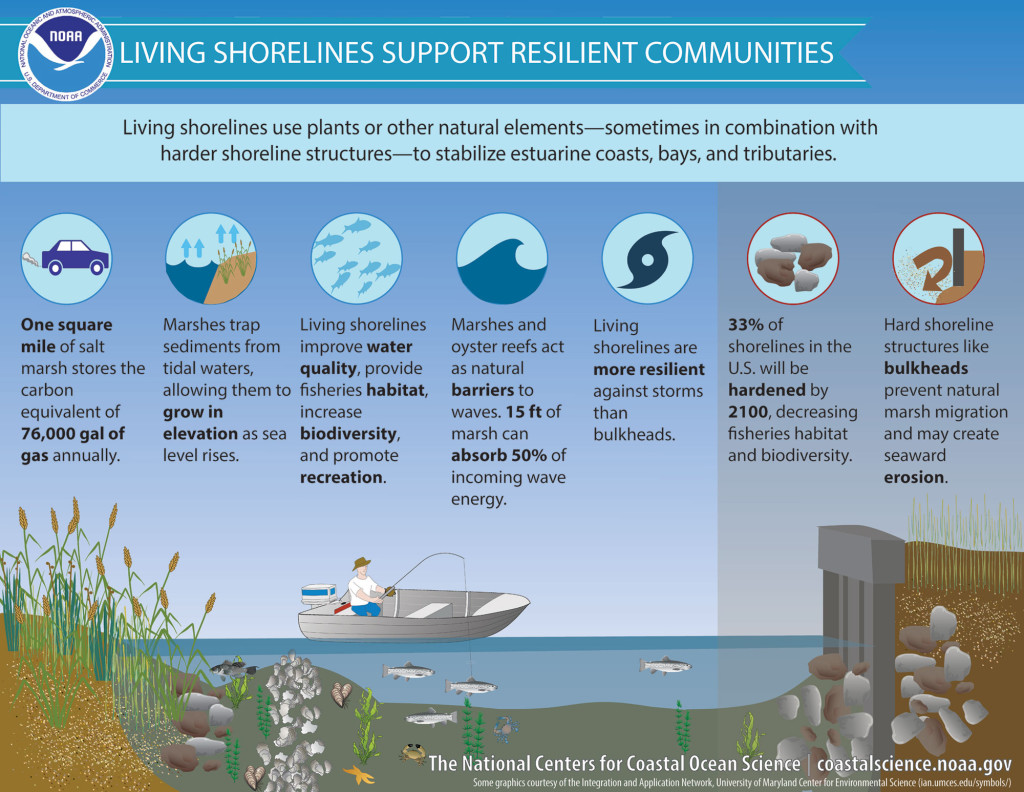An infographic showing the ecological benefits of living shorelines.