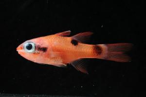 BEL17303Amaculatus22.87