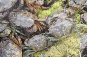 Green crabs piled on top of one another.