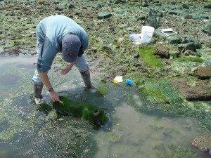 A scientists bends down to lift seaweed off of plastic panels on the shore.