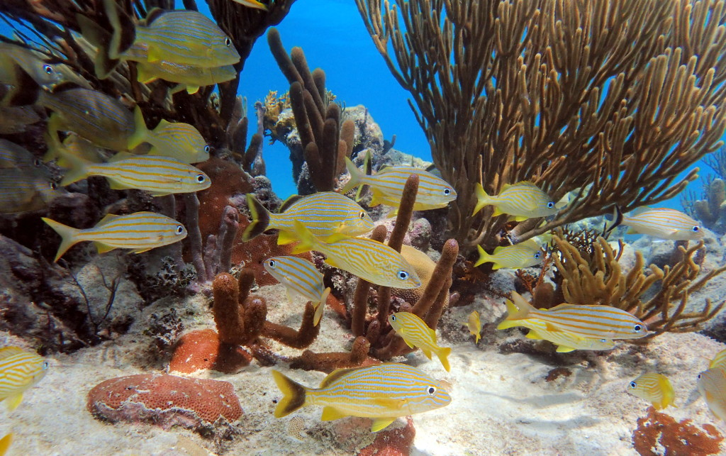 Yellow fish swimming around coral reef