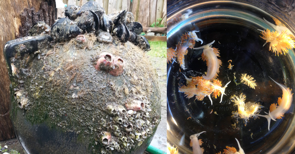 Examples of species rafted to the U.S. on tsunami debris. Left: Mediterranean mussels, barnacles and sea anemones in Long Beach, Washington, in February 2017. Credit: Nancy Treneman. Right: Marine sea slugs washed ashore in Oregon in April 2015. Credit: John Chapman.