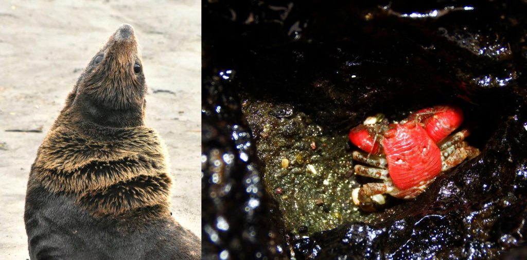 Seal and red crab