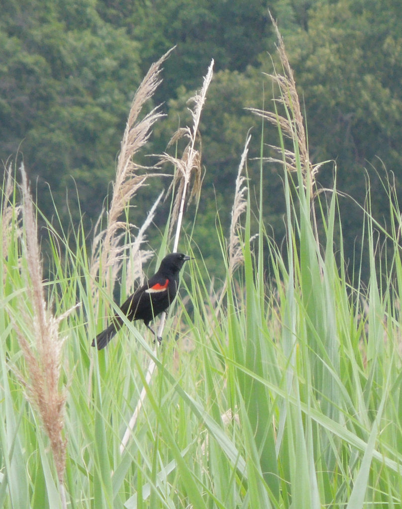 red-winged blackbird among reeds.