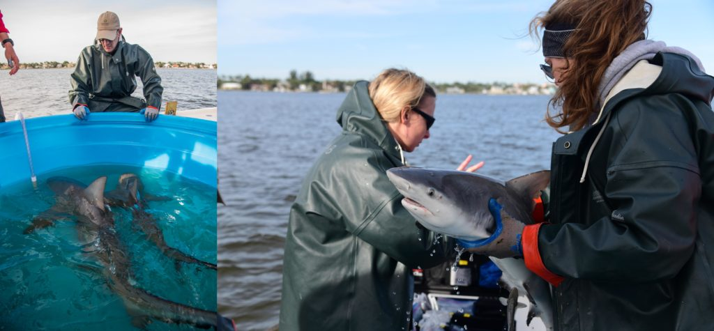 Two photos of scientists with live sharks on boat