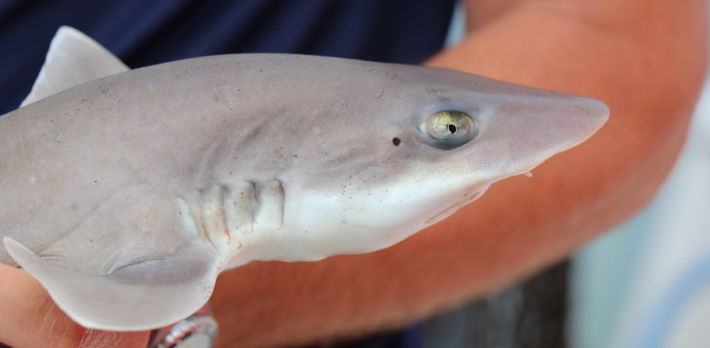 Close-up of shark in profile, held by scientist