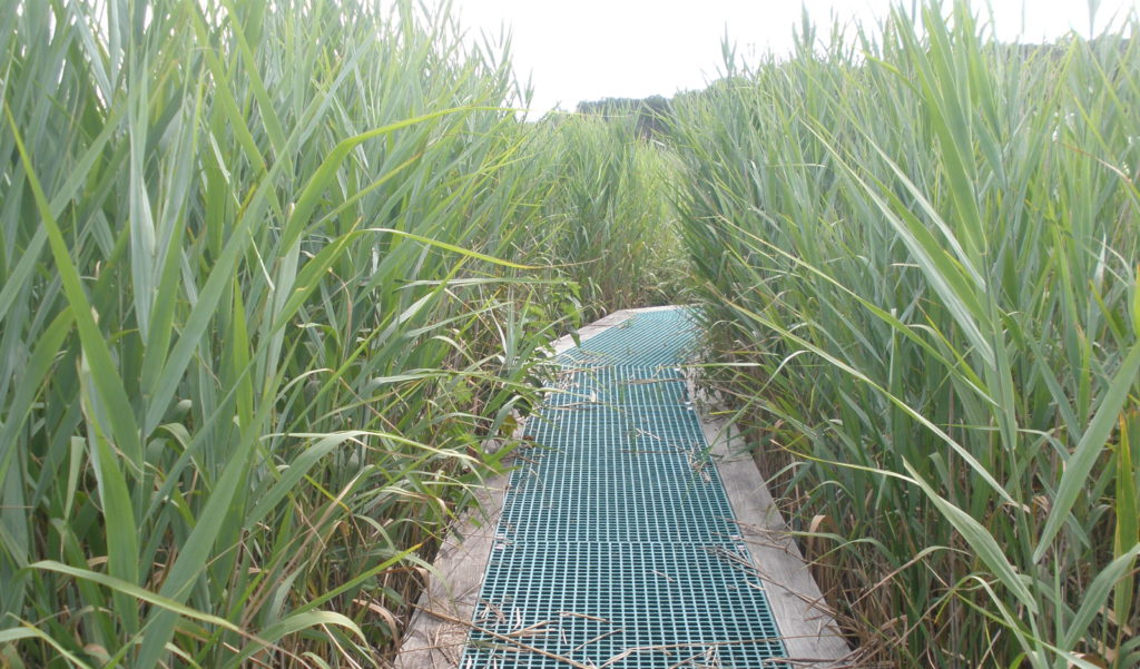 Boardwalk surrounded by Phragmites