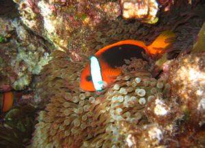 Bright orange coral reef fish with white stripe in anemone