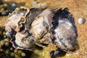 Closeup of four oysters on a sandy surface next to the tide
