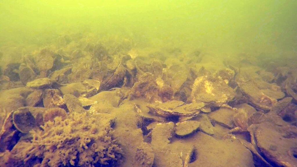 Underwater oysters